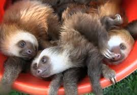 Bucket O' Sloths- apparently sloths like to travel by bucket... seriously  every fact I learn about them makes them cuter!