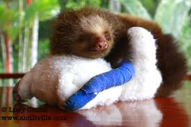 Orphaned sloths hug stuffed animals in lieu of their mother's. My heart just broke from it's inability to contain this level of cute.